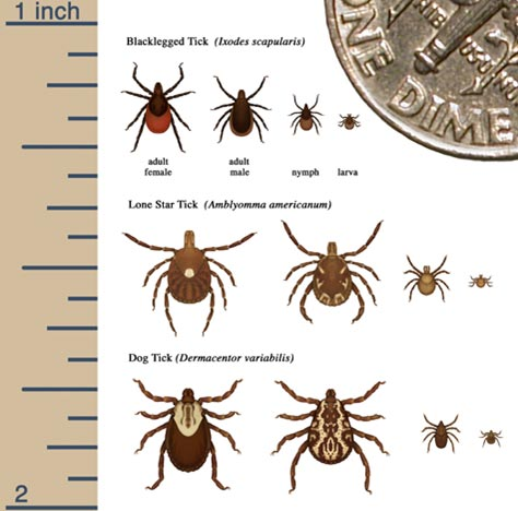 lyme disease tick types and size chart